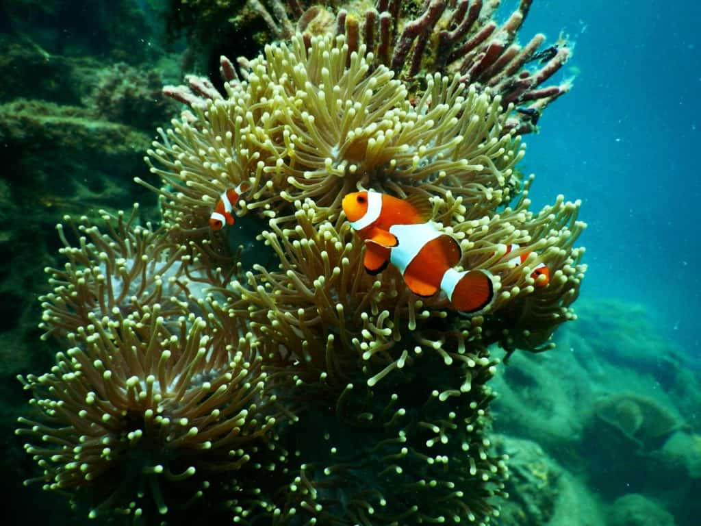 clownfish-under-water-1125979